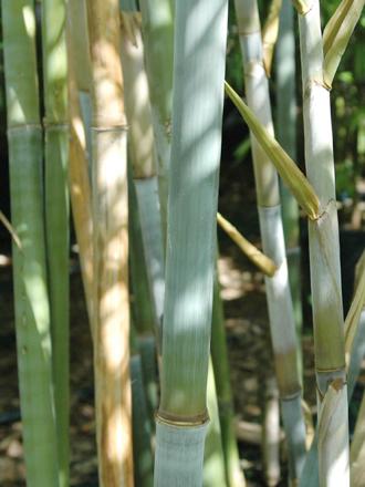 Blue Bamboo  Bambusa chungii