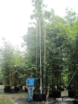 Bambusa oldhamii 100 Gallon