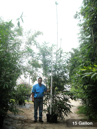 Bambusa oldhamii 15 Gallon