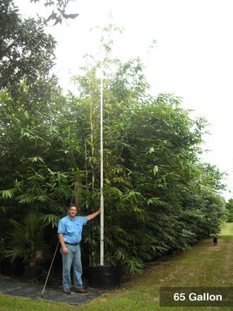 Bambusa oldhamii 65 Gallon