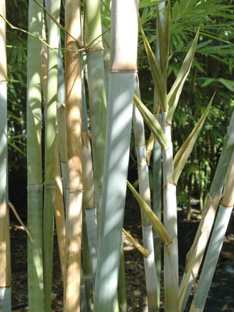 Thompson S Bamboo Farm Florida S Premier Source For Clumping Bamboo
