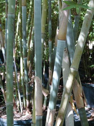 Dwarf Blue Bamboo