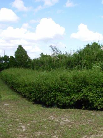 The Fernleaf Bamboo