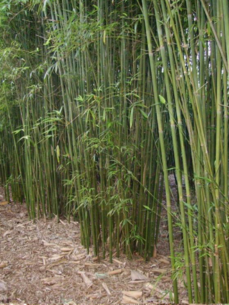 The Slender Weaver's Bamboo