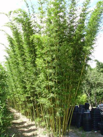 The Emerald Bamboo